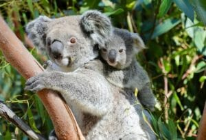 Brain Industries sponsors a koala at Aussie Ark which it has named Poly